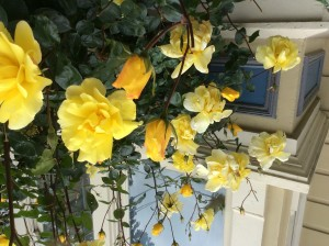 The fragrant roses on Prosper Street